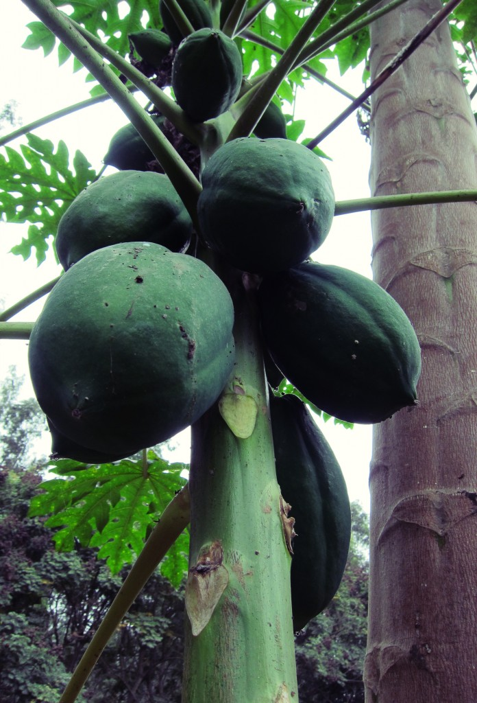 arbol de papaya